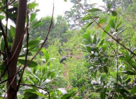 Quảng Nam: Bò tót xuống núi húc 4 người thương vong - Ảnh 1