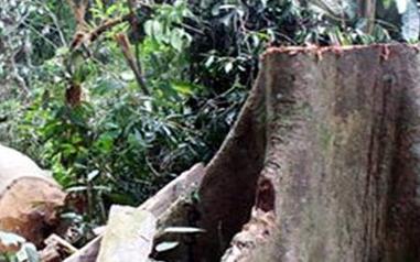 4 người chết vì đổ xô vào rừng khai thác ươi - Ảnh 1