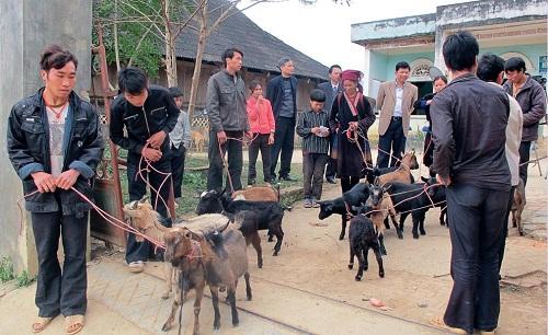 Hàng trăm con dê trao cho người nghèo ở Thanh Hóa chết bất thường - Ảnh 1