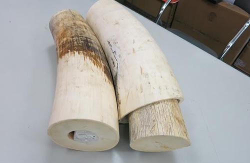 Bắt gần 15 kg ngà voi châu Phi nhập lậu từ Pháp về - Ảnh 1