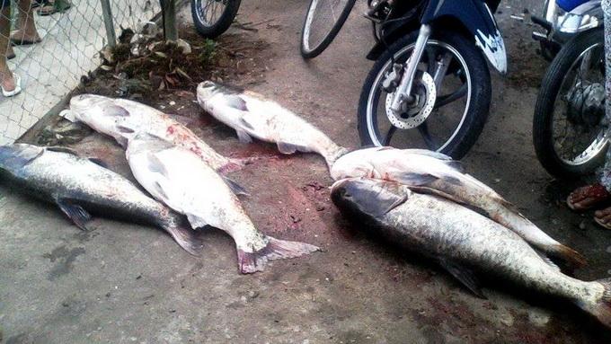 """Hồ Dầu Tiếng xả nước, cá mè """"khủng"""" trôi về TP.HCM - Ảnh 1"""