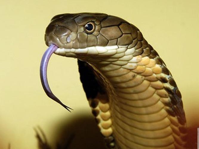 Đánh đu mạng sống để chơi... rắn độc - Ảnh 1