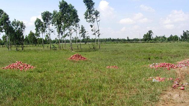 Đau xót thanh long đổ đống đầy đường, cho bò ăn - Ảnh 5