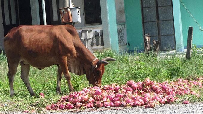 Đau xót thanh long đổ đống đầy đường, cho bò ăn - Ảnh 1