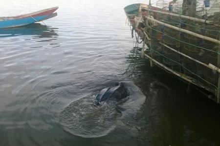 Rùa da quý hiếm nặng 80 kg mắc lưới ngư dân - Ảnh 1