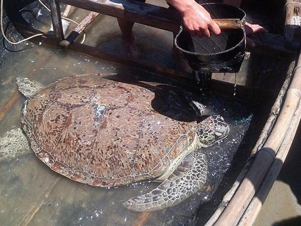Ngư dân Thanh Hóa thả rùa quý dài 1 mét về biển - Ảnh 1