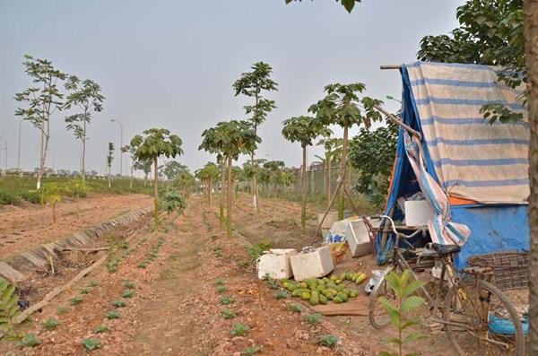 Dân dựng lều, trồng rau trên đại lộ nghìn tỷ - Ảnh 3
