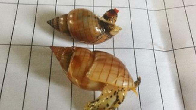 Vụ 3 ngư dân tử vong sau ăn ốc: Xác minh loại ốc cùng độc tính - Ảnh 1