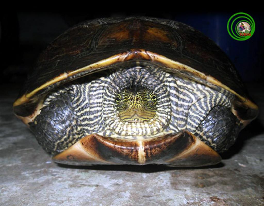 Đà Nẵng: Đã xác định chính xác tên của rùa lạ - Ảnh 1