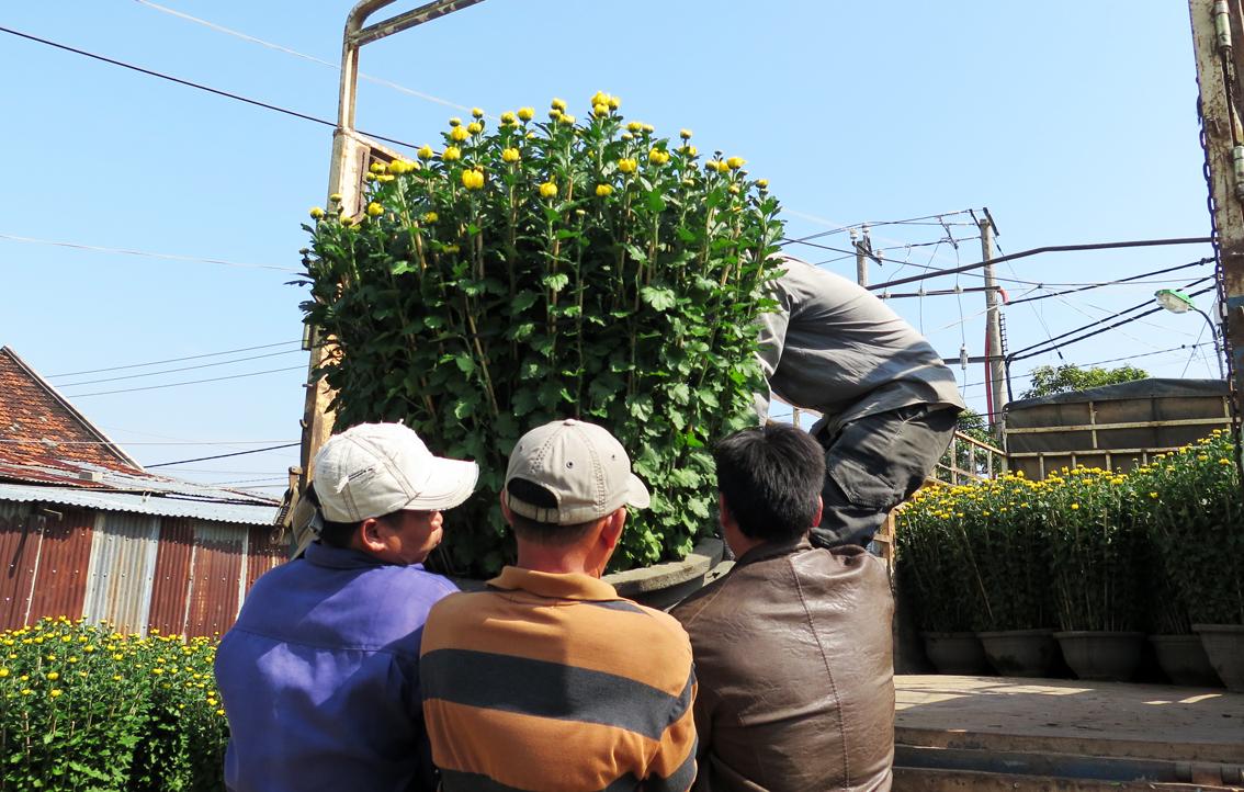 Phú Yên: Giá hoa cúc tăng đột biến, nhà vườn trúng đậm - Ảnh 1