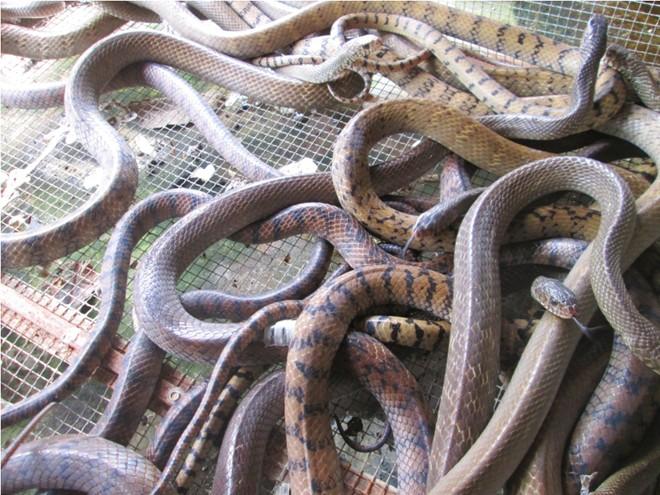 Thương lái TQ không mua rắn, nông dân miền Tây lao đao - Ảnh 1