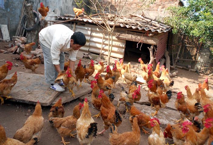 """Kinh hãi thực phẩm bẩn, nông dân """"tẩy độc"""" cho cá, gà - Ảnh 1"""