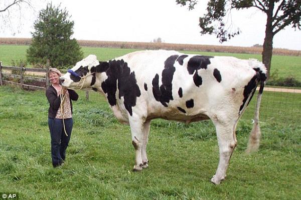 Chú bò cao 1,9m thoát khỏi lò mổ nhờ xác lập kỷ lục thế giới - Ảnh 1