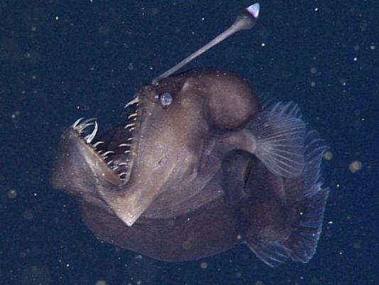 Cận cảnh loài cá có vẻ ngoài quái dị, đáng sợ dưới đáy biển sâu - Ảnh 1