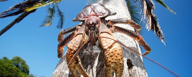 Chiêm ngưỡng cua khổng lồ của loài chân đốt trên cạn - Ảnh 1