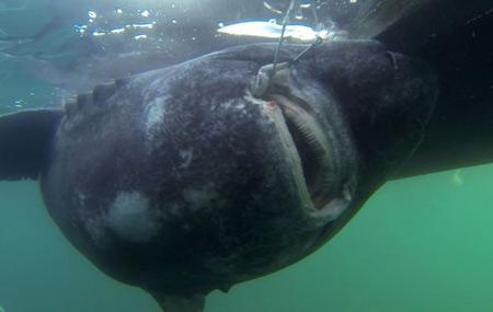 Bắt được cá mập khổng lồ nặng 600 kg bằng… cần câu   - Ảnh 1