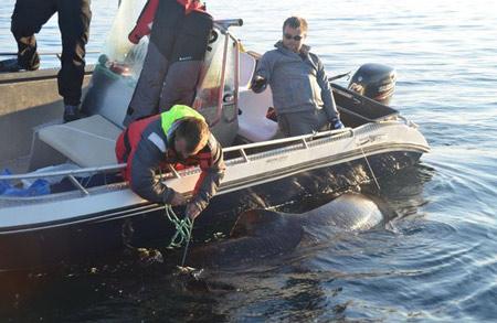 Bắt được cá mập khổng lồ nặng 600 kg bằng… cần câu   - Ảnh 2