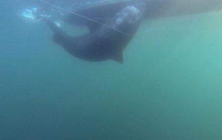 Bắt được cá mập khổng lồ nặng 600 kg bằng… cần câu   - Ảnh 3