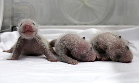Gấu trúc sinh 3 thành công đầu tiên tại vườn thú Trung Quốc - Ảnh 1
