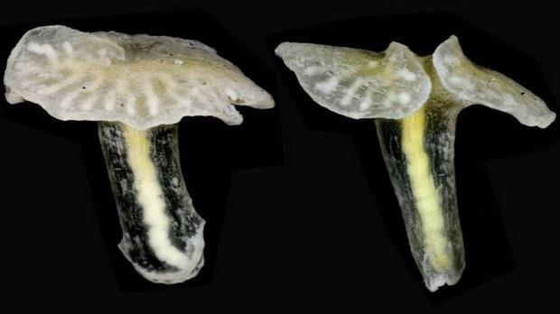Phát hiện sinh vật lạ hình nấm từ thời cổ đại ở Australia - Ảnh 1