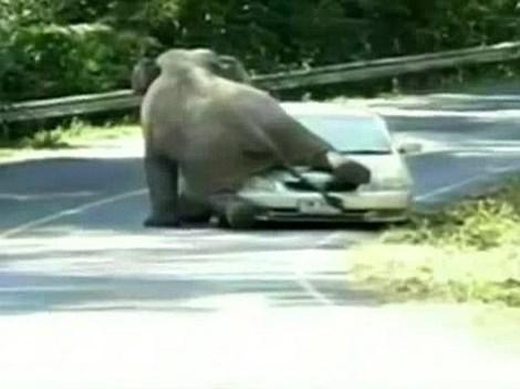 Ngỡ ngàng chú voi xông ra đường, nhảy lên nóc xe ôtô  - Ảnh 1