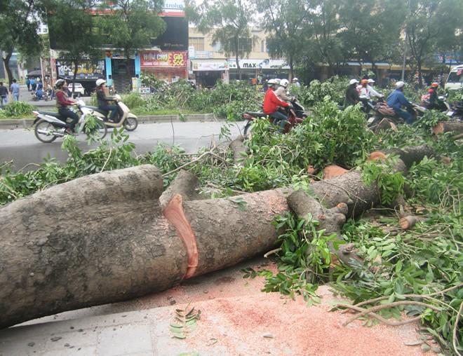 Đốn hạ 100 cây xà cừ cổ thụ ở Hà Nội - Ảnh 1