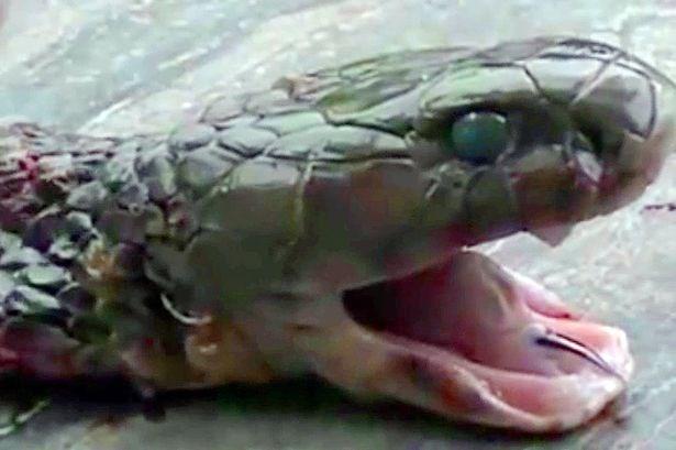 Trung Quốc: Rắn hổ mang bị chặt đầu vẫn cắn chết người - Ảnh 1