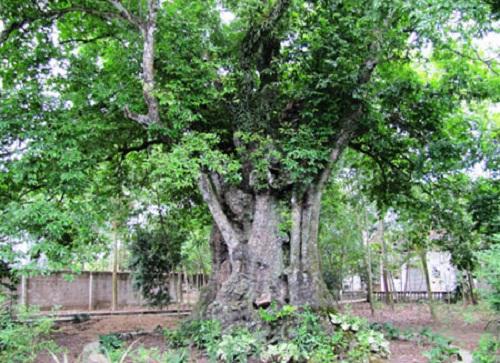 Ngắm 5 cây thị gần 700 tuổi có giá chục tỷ đồng ở Nghệ An - Ảnh 1