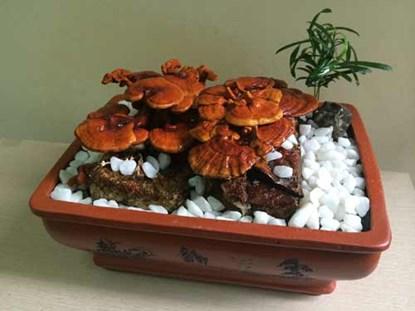 """Nấm linh chi bonsai giá bạc triệu: """"Cây độc"""" chơi Tết - Ảnh 2"""