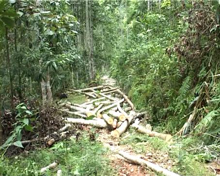 Dừng khai thác gỗ rừng tự nhiên trên cả nước - Ảnh 1