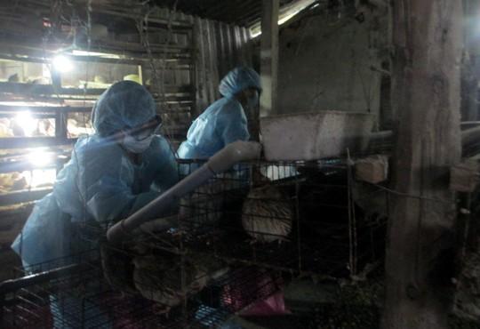 Quảng Ngãi: Tiêu hủy 12.000 con chim cút nhiễm cúm A/H5N1, A/H5N6 - Ảnh 1