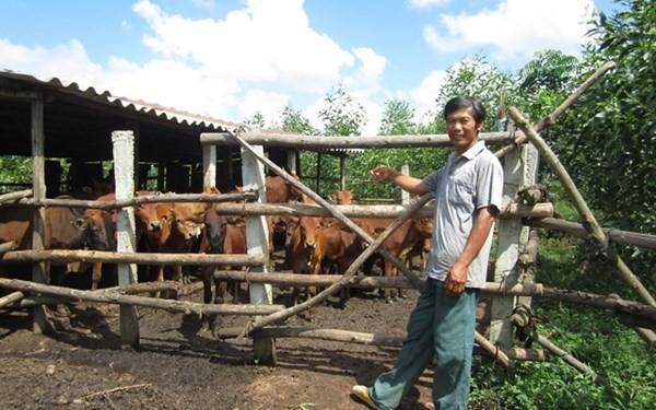 Lên núi trồng rừng, nuôi bò mà thành triệu phú - Ảnh 1