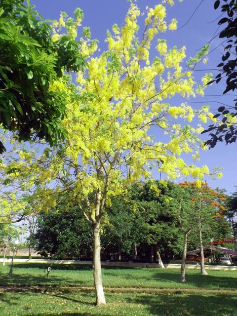 Vàng rực hoa muồng hoàng yến khoe sắc một góc trời xứ Huế - Ảnh 2