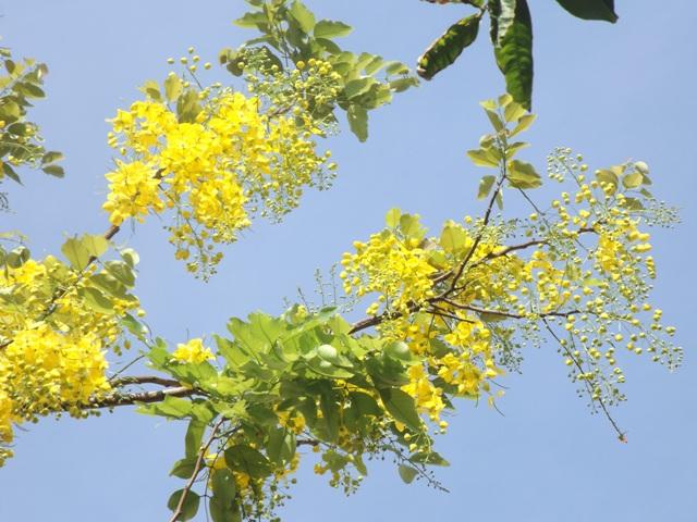 Vàng rực hoa muồng hoàng yến khoe sắc một góc trời xứ Huế - Ảnh 6