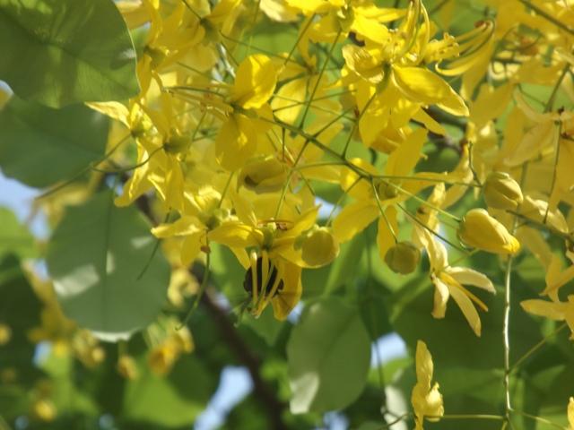 Vàng rực hoa muồng hoàng yến khoe sắc một góc trời xứ Huế - Ảnh 8