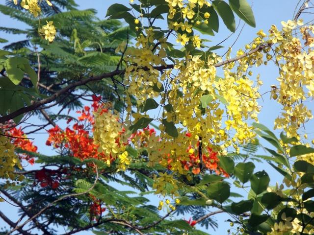Vàng rực hoa muồng hoàng yến khoe sắc một góc trời xứ Huế - Ảnh 10
