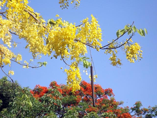 Vàng rực hoa muồng hoàng yến khoe sắc một góc trời xứ Huế - Ảnh 11