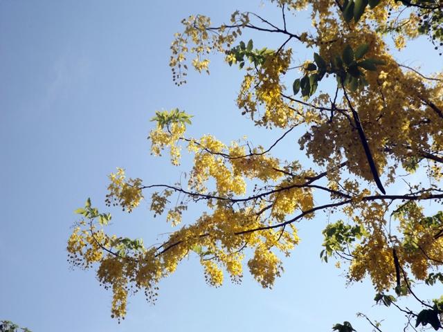 Vàng rực hoa muồng hoàng yến khoe sắc một góc trời xứ Huế - Ảnh 12