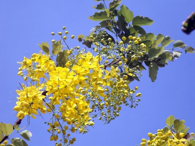 Vàng rực hoa muồng hoàng yến khoe sắc một góc trời xứ Huế - Ảnh 13
