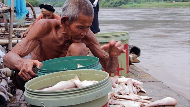 Nước lũ tràn về khiến hàng chục tấn cá lồng trên sông Mã chết trắng - Ảnh 1