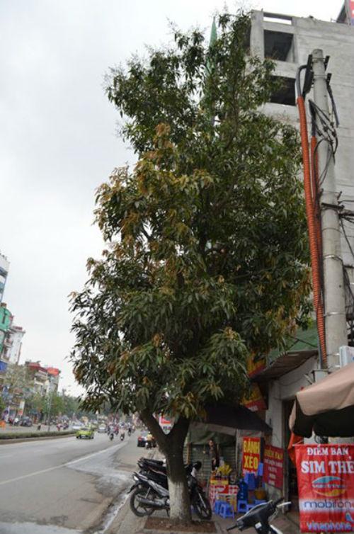 """Hà Nội: Gặp người phụ nữ từng """"cố thủ"""" trên cây phản đối chặt hạ - Ảnh 2"""