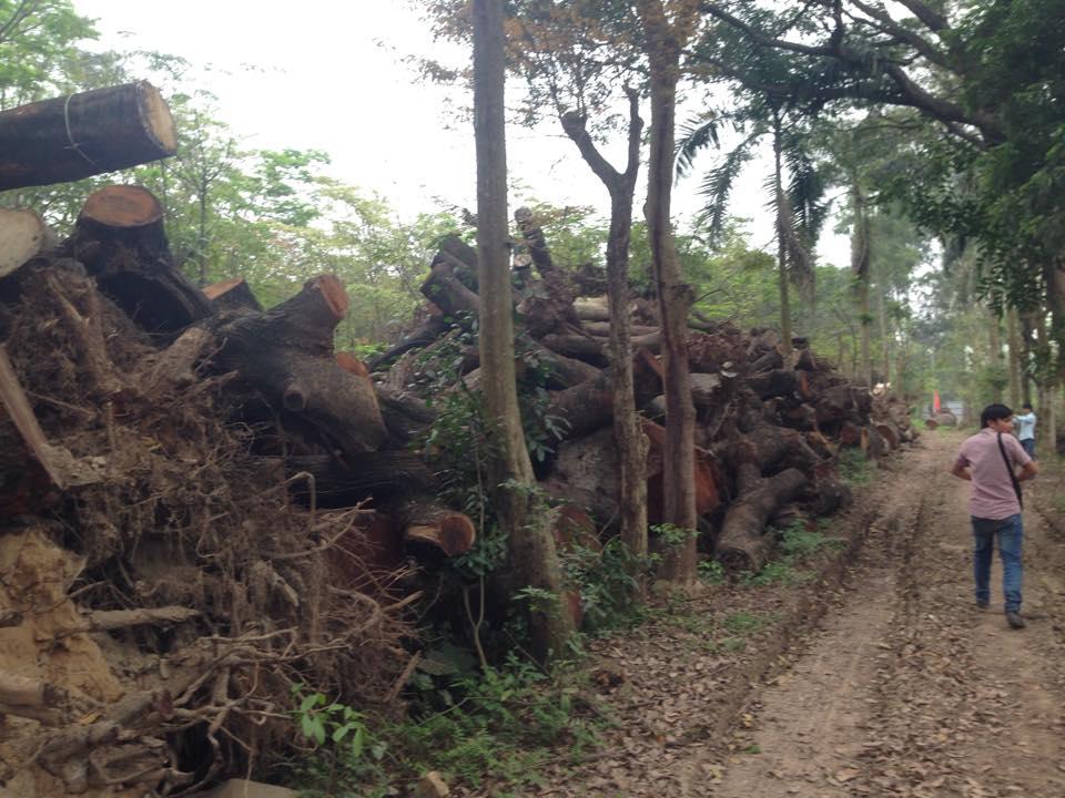 Cận cảnh bãi tập kết cây xanh vừa bị chặt ở Hà Nội - Ảnh 3