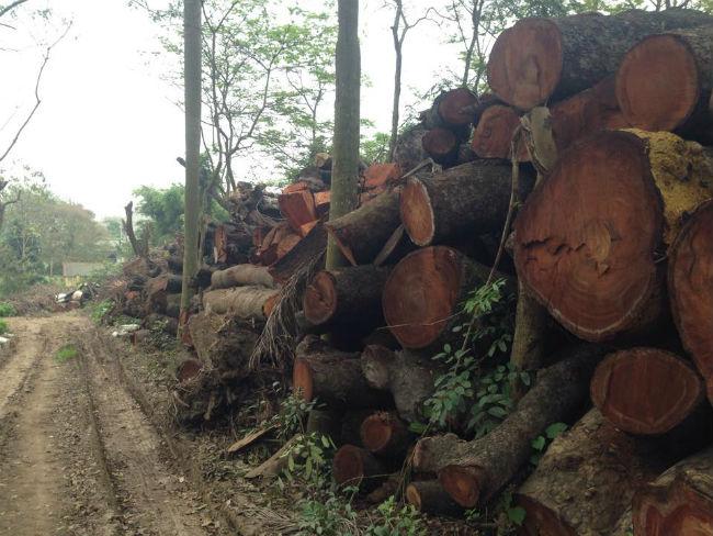 Cận cảnh bãi tập kết cây xanh vừa bị chặt ở Hà Nội - Ảnh 2