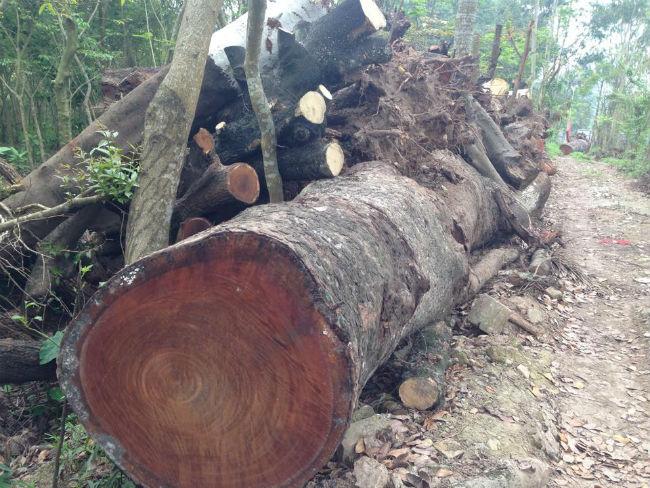 Cận cảnh bãi tập kết cây xanh vừa bị chặt ở Hà Nội - Ảnh 7