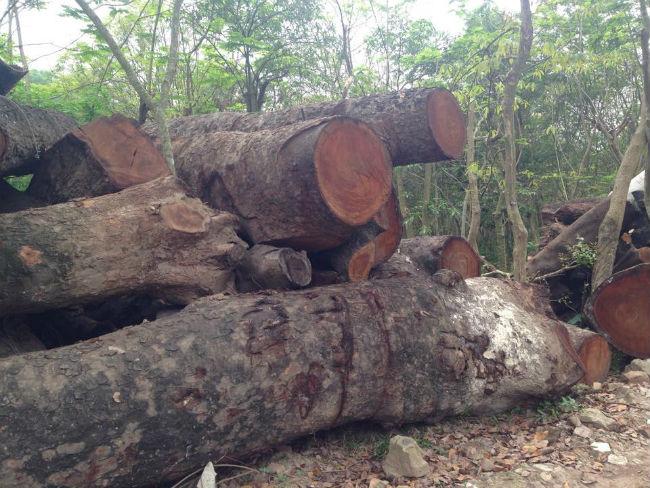 Cận cảnh bãi tập kết cây xanh vừa bị chặt ở Hà Nội - Ảnh 6