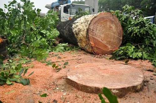 Gần 36 triệu đồng để chặt một cây xà cừ ở Hà Nội - Ảnh 1