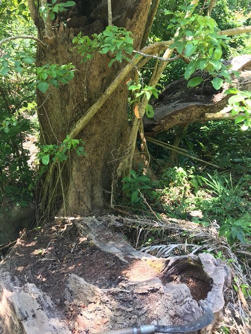 Đà Nẵng: Thông tin mới nhất vụ khai thác gỗ trái phép ở rừng Sơn Trà - Ảnh 2