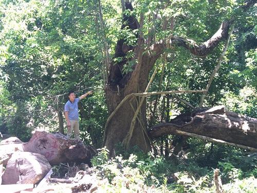 Đà Nẵng: Thông tin mới nhất vụ khai thác gỗ trái phép ở rừng Sơn Trà - Ảnh 3