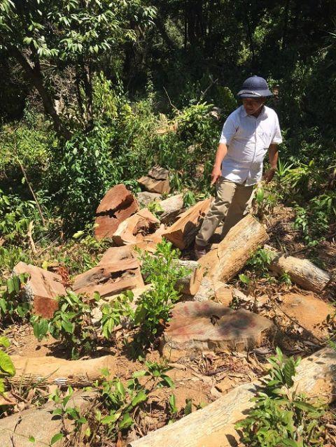 Vụ khai thác gỗ trái phép ở Đà Nẵng: Cơ quan chức năng đang điều tra làm rõ - Ảnh 1