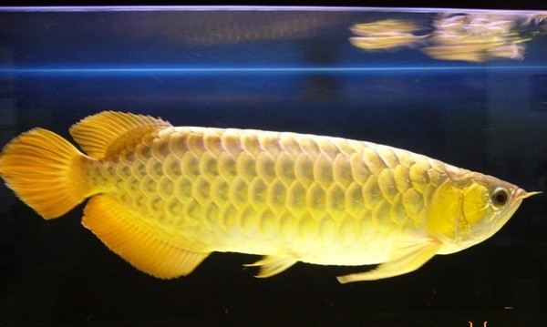 Cá kim long 9999 hơn 20 triệu/con đang được săn lùng có gì đặc biệt? - Ảnh 3